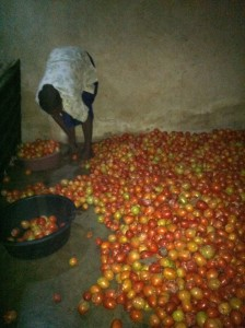 Sorting the first tomato harvest at Kakunyu School Uganda